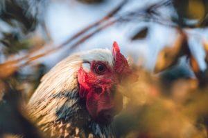 Cara Daftar Situs Judi Sabung Ayam S128 Online